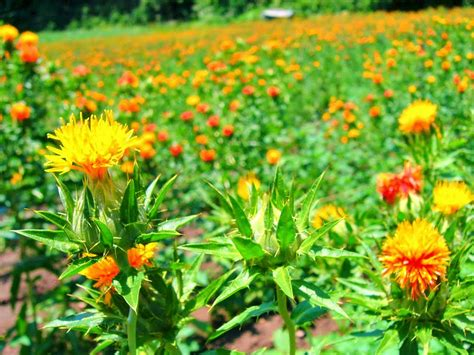 benefits of safflower carthamus tinctorius for health