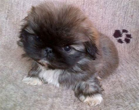 mixed pug puppies puginese pekingese x pug mix breed info temperament puppies pictures