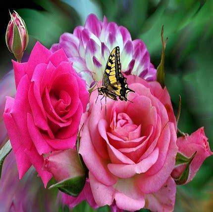 imagenes de rosas descargar gratis imagenes de rosas gratis para descargar y compartir