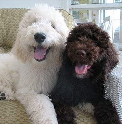 chocolate brown goldendoodle puppies for sale goldendoodles goldendoodle puppy breeder goldendoodle puppies for sale