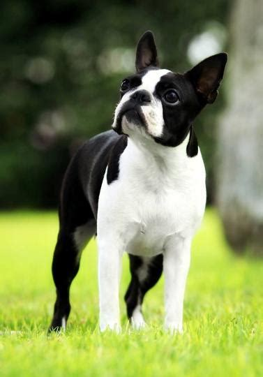 boston colors acceptable boston terrier colors black color