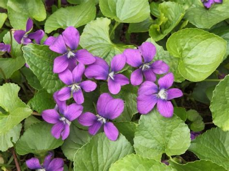 new jersey state flower wood violet home pinterest seeds of knowledge u s state flowers pinegreenwoods