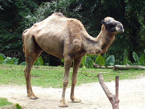 eats camels