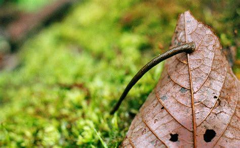 diy leech socks leeches burke s backyard