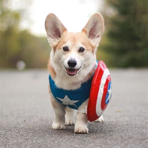 corgi puppies maine 17 best ideas about baby corgi on corgi puppies corgi and corgi pups