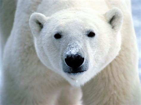 the polar bear effects of climate change on polar bears boneblogger science and the outdoors