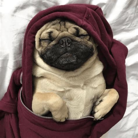 doug the pug college 15 instagram pets who more followers than you