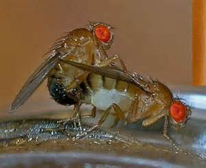 what causes fruit flies promiscuity found to be the saviour of the fruitflies