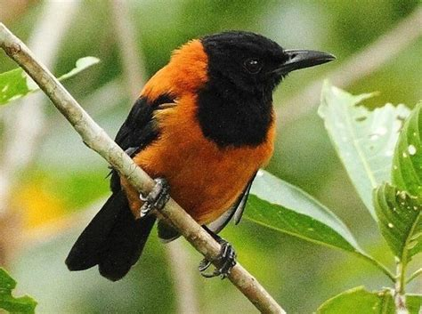 pitohui a poisonous bird a science periodic