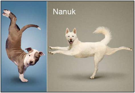 imagenes de perro haciendo yoga perros y gatos haciendo yoga taringa