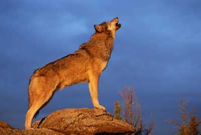 howling meaning howling dreams meaning interpretation and meaning