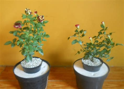 menanam mawar hidroponik cara menanam tanaman hias dengan cara hidroponik
