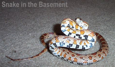 snakes in the basement how do you get snakes out of the