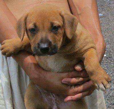 rhodesian ridgeback puppies for adoption rhodesian ridgeback puppies for adoption breeds picture