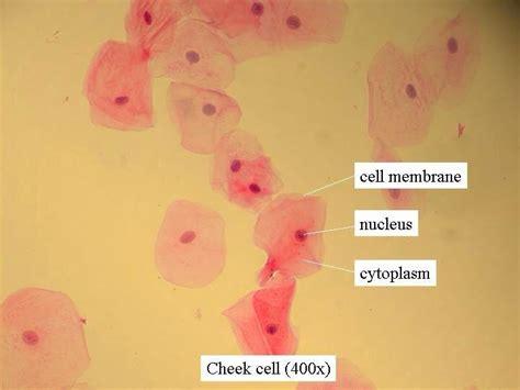 cheek cell diagram cheek cell microscope pearltrees