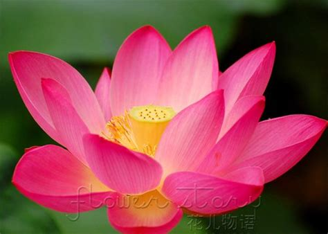 shipping  seed cute red lantern lotus flower seeds
