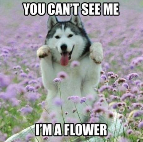 Funny Husky Meme - flower husky meme slapcaption com flower memes