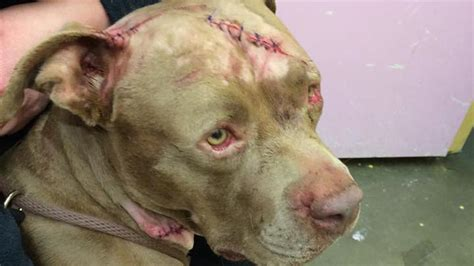 pit bull mix recovering after being slashed stabbed nbc