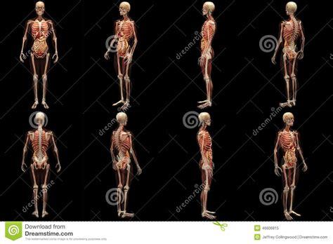 scheletro con organi interni raggi x di scheletro con i muscoli e gli organi interni