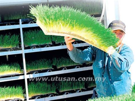 menanam rumput hidroponik dalam industri ternakan beban utama pengusaha dalam kos
