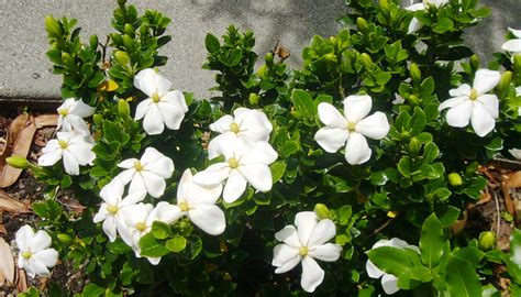 Gardenia In Gardenia Jasminoides Quot Kleim S Hardy Quot Fresh By Northwest