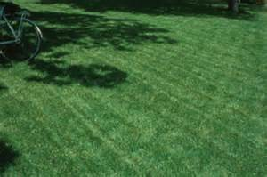 majestic bermuda grass seed coated and unhulled 25 lb