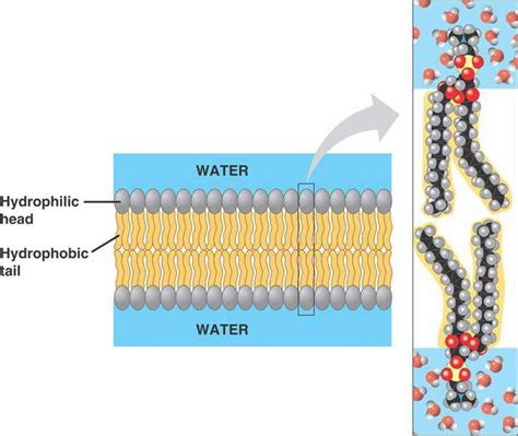 microbiology   cell membranes   lipid bilayer