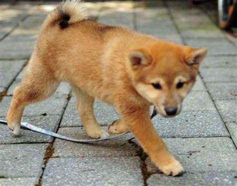 shiba inu golden retriever mix golden retriever and spitz mix breeds picture
