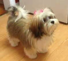 dog haircuts chicago grooming a havanese dogs dogs dogs pinterest
