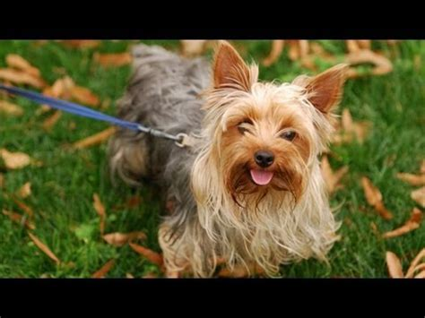 all about yorkie dogs tricks by terrier doovi