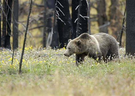 Grizzly Bears Yellowstone National Park U S National Park Service - incredible yellowstone national park wildlife 60 pics