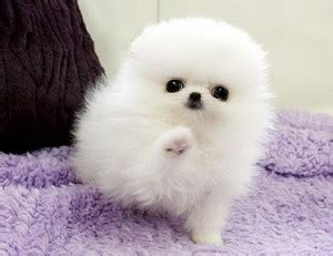 pomeranian puppies iowa pets cedar rapids ia free classified ads