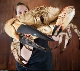 monster tasmanian king crabs are saved from the pot and shipped to britain for aquarium display