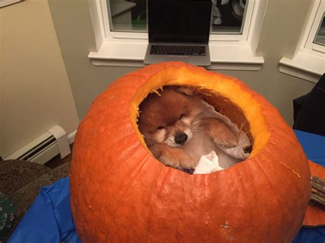 puppy and pumpkin 10 puppies that fit inside a pumpkin need we say more rover