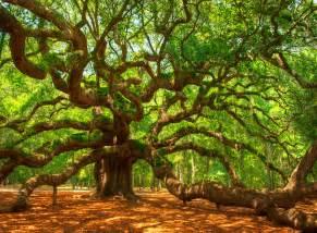 angel oak tree placerating
