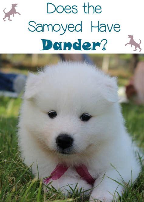Samoyed Shedding by Do Samoyed Dogs Dander