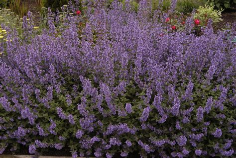 nepeta catmint www imgkid com the image kid has it