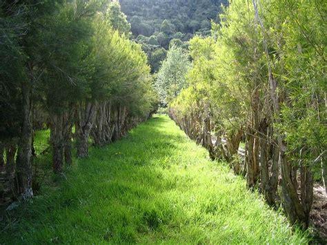 Minyak Pohon Teh mengenal manfaat tea tree bagi kulit distributor