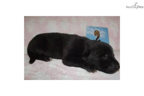 black wolf puppies for sale wolf hybrid puppy breeds picture