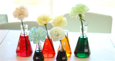 color changing carnations dyed carnation science experiment for