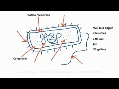 How To Draw A Prokaryotic Cell