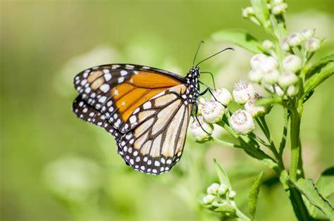 imagenes mariposas naturaleza imagen de mariposa posando sobre capullo con fondo verde
