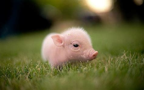 Two little cute baby piglets   YouTube