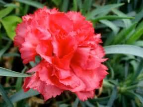 Texas State Bird Flower Tree - red carnation state symbols usa