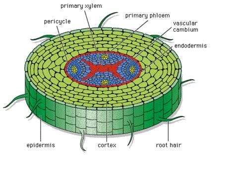 vascular tissue diagram vascular tissue science general zoology