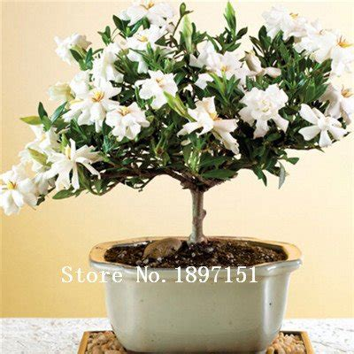 gardenia giardino catalogo gardenia piante da esterno