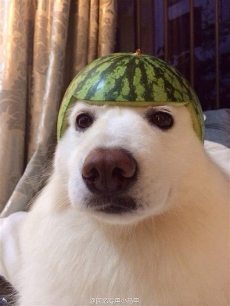 is watermelon safe for dogs how to keep your pet safe using a watermelon and an orange