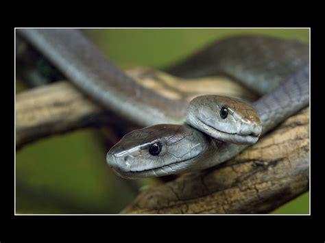 black mamba venomous black mamba snake
