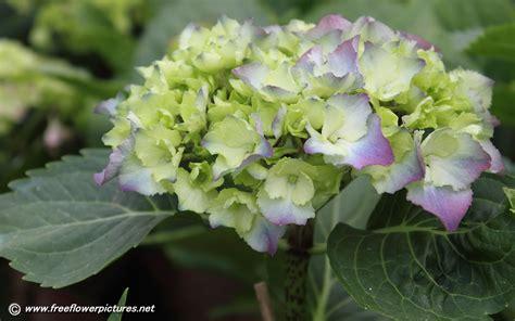 Hydrangea Planter by Hydrangea Flower Pictures Hortensia Flower Pictures