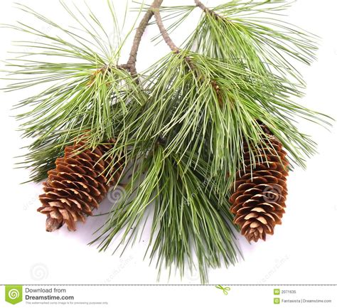 pinecone tree pine cone clipart pine tree branch pencil and in color